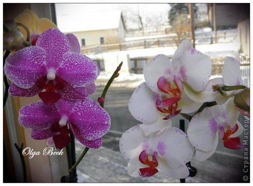 Мастер-класс: Орхидеи Фаленопсис (Phalaenopsis). Полив. Когда нужно поливать орхидею.. Фото 1