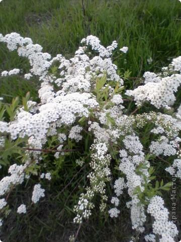 На кустике распустились белоснежные цветы.. Фото 3