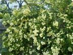 Глициния, роза