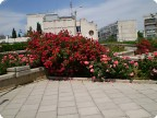 Буйное цветение роз