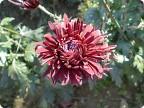 Бал хризантем. Никитский Ботанический сад