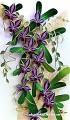 Каттлея (лат. Cattleya) — семейство Орхидные