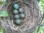 2. Кстати по этой фотографии мне наконец-то...  Ну а через неделю в этом же гнезде уже не яйца, а птенчики...