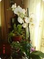 Мои любимые орхидеи.