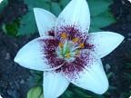 Мои любимые лилии