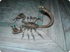 Скорпион1 Страна Мастеров