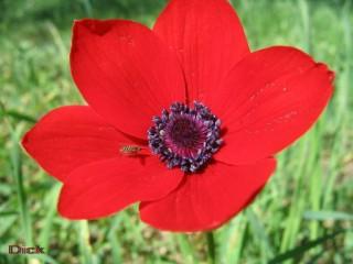 Аленький_цветочек