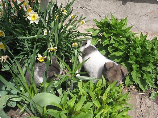 Прежние домашние любимцы в течение зимы 2008 года перешли в «мир иной». Так случилось..., прошлой весной в нашем доме практически одновременно появились щенок и котенок.  фото 3