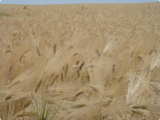Пшеничные поля... фото 1
