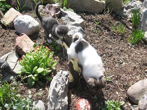 Прежние домашние любимцы в течение зимы 2008 года перешли в «мир иной». Так случилось..., прошлой весной в нашем доме практически одновременно появились щенок и котенок.  фото 9