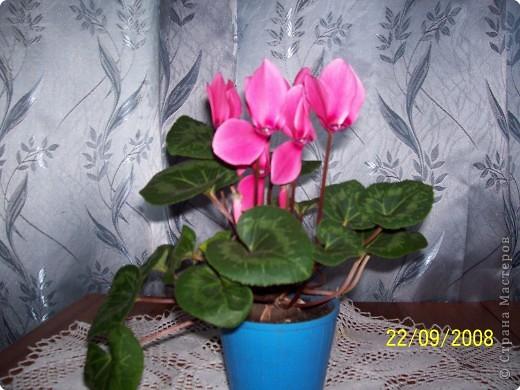 цветут цикламены фото 1