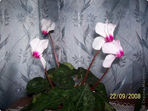 цветут цикламены фото 2