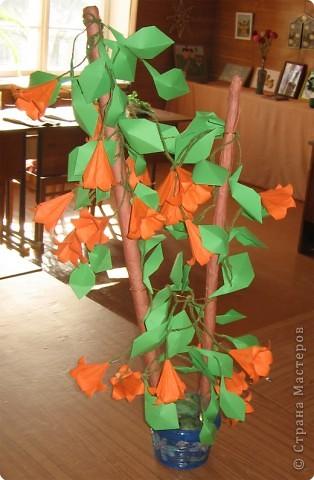Кампсисс. Этим названием называется лиана, которая цветет все лето.