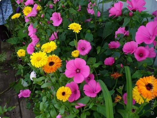 Наконец зацвели бархатцы в саду. фото 7