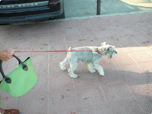 Мне очень понравился Пудель Дорони,а т. к. он ищет друзей, то я предлагаю ему фото.Может быть кто-то из испанских или французских собачек ему приглянется. фото 10