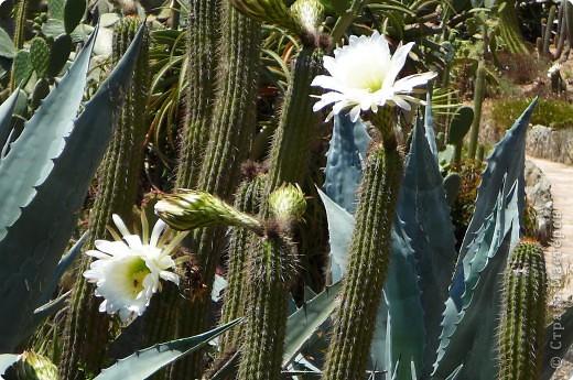 Недалеко от городка, в котором мы отдыхали, на горе обнаружился Сад кактусов. фото 13