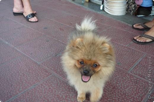 Мне очень понравился Пудель Дорони,а т. к. он ищет друзей, то я предлагаю ему фото.Может быть кто-то из испанских или французских собачек ему приглянется. фото 14