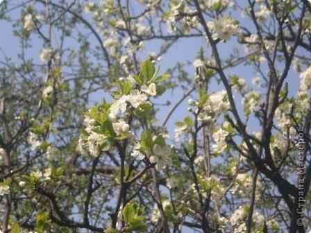 Яблони в цвету - какое чудо! фото 2