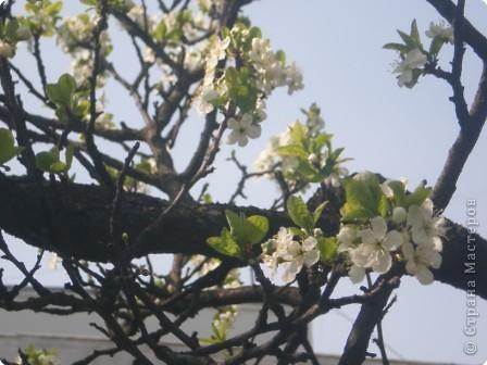 Яблони в цвету - какое чудо! фото 1