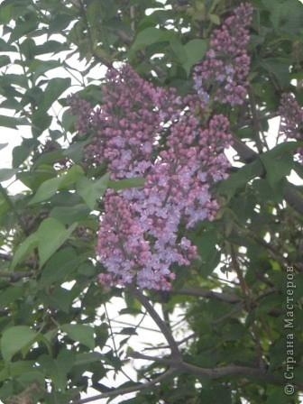 Сирень цветет фото 3