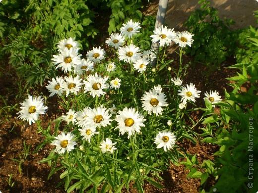 Многолетники, без названия, цветут уже почти 2 месяца фото 11