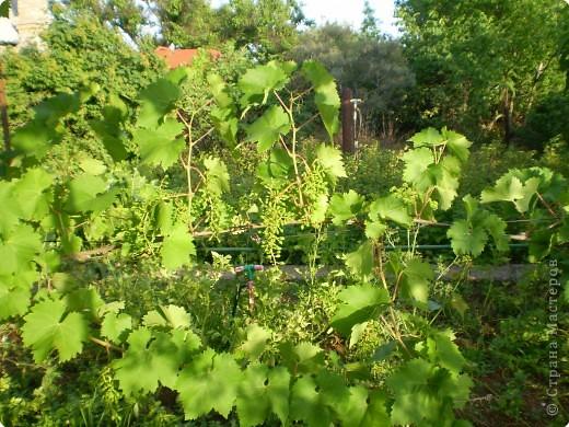 Виноград на разных стадиях роста. фото 1