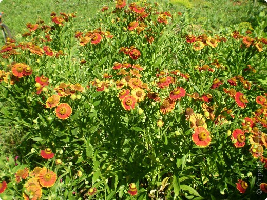 Многолетники, без названия, цветут уже почти 2 месяца фото 5