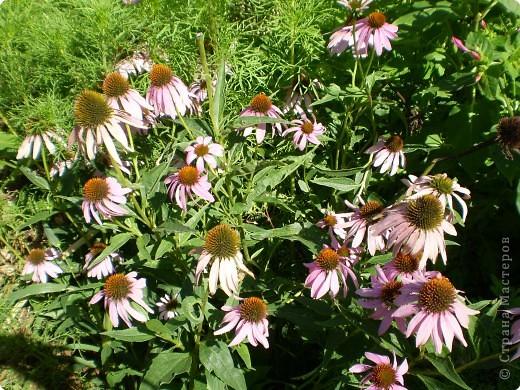 Многолетники, без названия, цветут уже почти 2 месяца фото 6