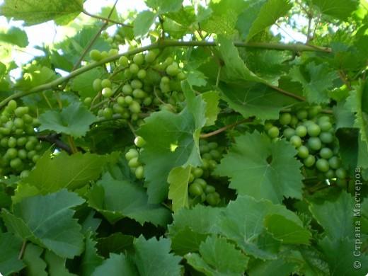 Виноград на разных стадиях роста. фото 2