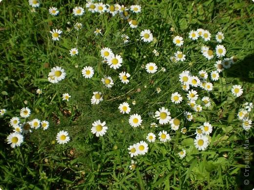 Многолетники, без названия, цветут уже почти 2 месяца фото 12