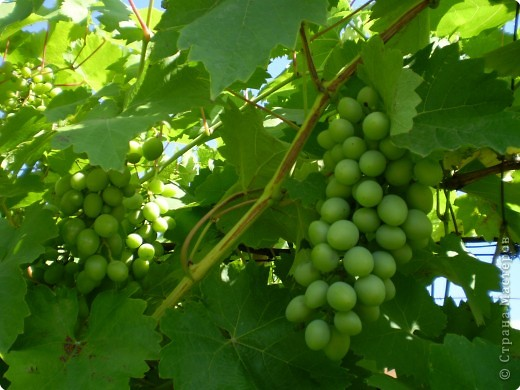 Виноград на разных стадиях роста. фото 3