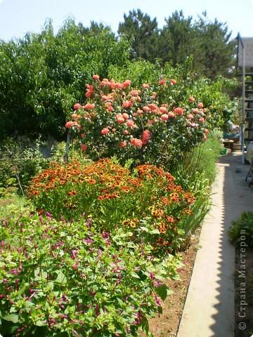 Многолетники, без названия, цветут уже почти 2 месяца фото 2