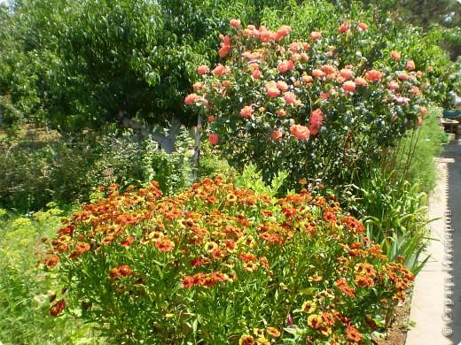 Многолетники, без названия, цветут уже почти 2 месяца фото 3