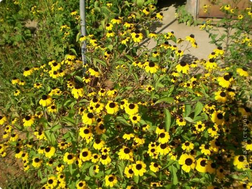 Многолетники, без названия, цветут уже почти 2 месяца фото 9