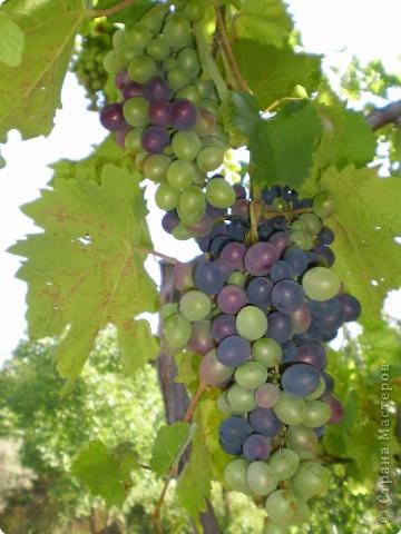 Виноград на разных стадиях роста. фото 4