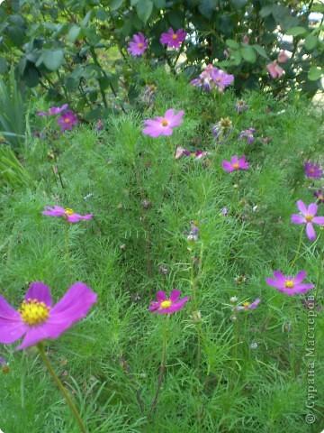 Многолетники, без названия, цветут уже почти 2 месяца фото 8