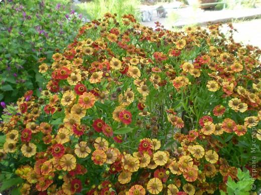 Многолетники, без названия, цветут уже почти 2 месяца фото 1