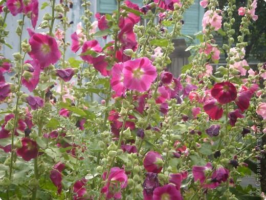 Цветы июля фото 7