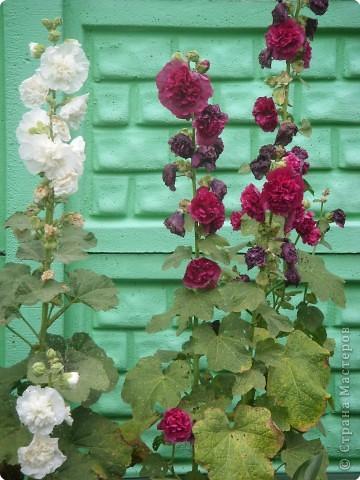 Цветы июля фото 14