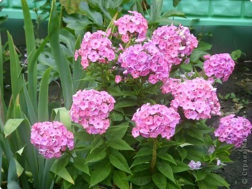 Цветы июля фото 11