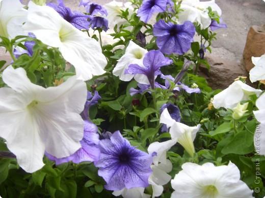 Цветы июля фото 10