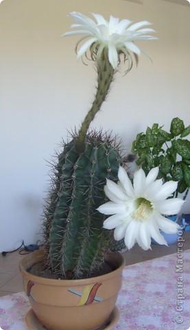 На улице февраль, а у нас цветет кактус. И сразу 2 цветка. фото 1