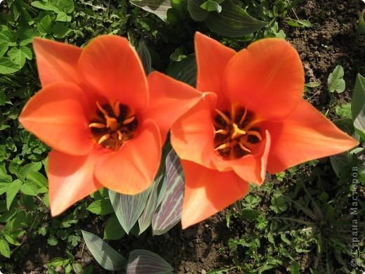 тюльпановое царство фото 7