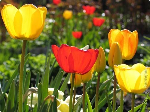 тюльпановое царство фото 8