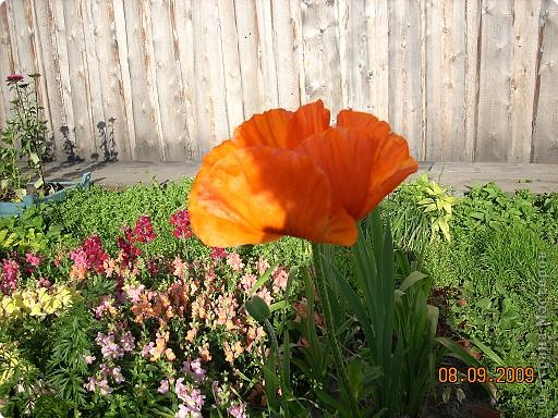 Мои любимые хризантемы фото 2