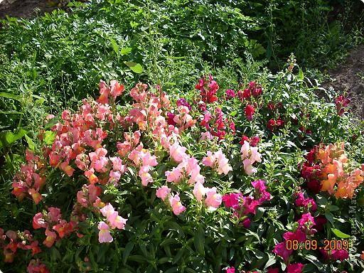 Мои любимые хризантемы фото 3