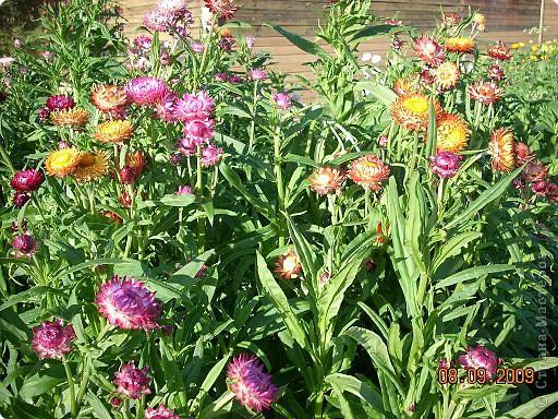 Мои любимые хризантемы фото 4