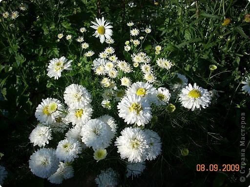 Мои любимые хризантемы фото 1