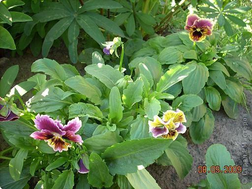 Мои любимые хризантемы фото 6