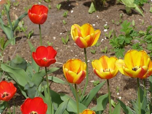 В городе весну можно и пропустить, если не было бы цветников и цветочников. Предлагаю вспомнить весну и возможно поучаствовать в озеленении своего города. фото 13